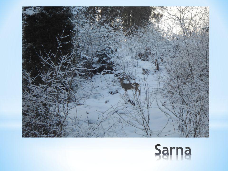 Umieją sobie radzić także zimą, gdy spadnie dużo śniegu.