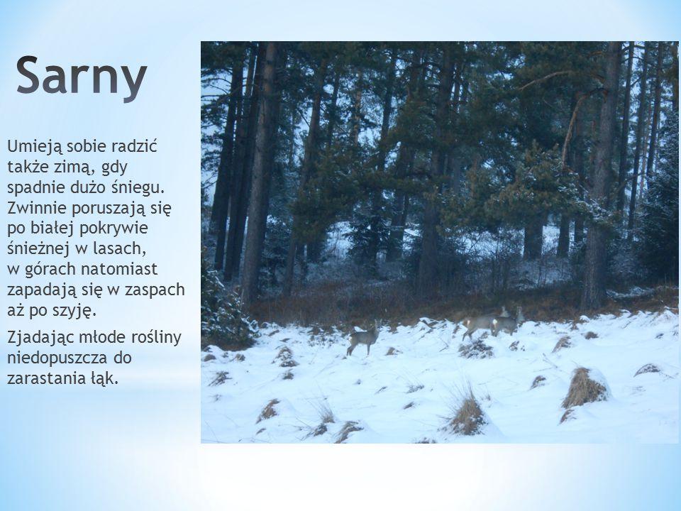 Umieją sobie radzić także zimą, gdy spadnie dużo śniegu. Zwinnie poruszają się po białej pokrywie śnieżnej w lasach, w górach natomiast zapadają się w