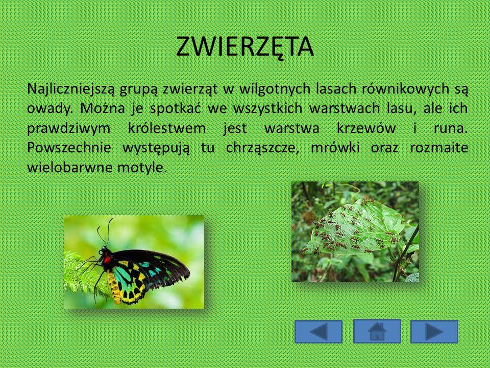 ZWIERZĘTA Najliczniejszą grupą zwierząt w wilgotnych lasach równikowych są owady. Można je spotkać we wszystkich warstwach lasu, ale ich prawdziwym kr