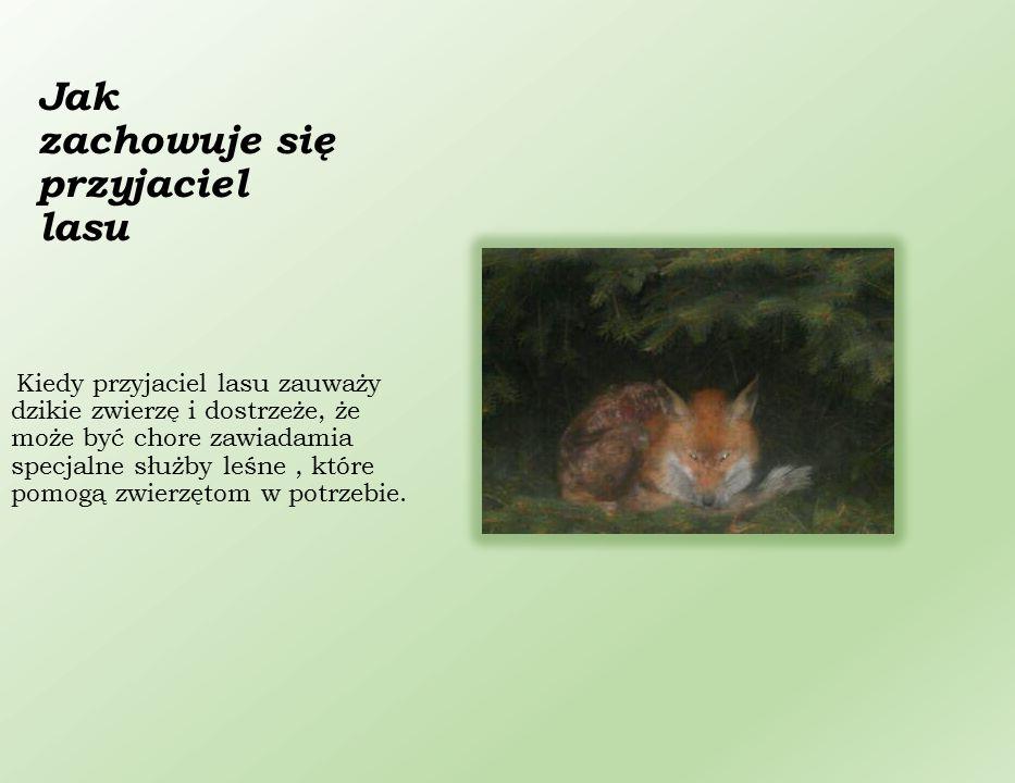 Jak zachowuje się przyjaciel lasu Kiedy przyjaciel lasu zauważy dzikie zwierzę i dostrzeże, że może być chore zawiadamia specjalne służby leśne, które