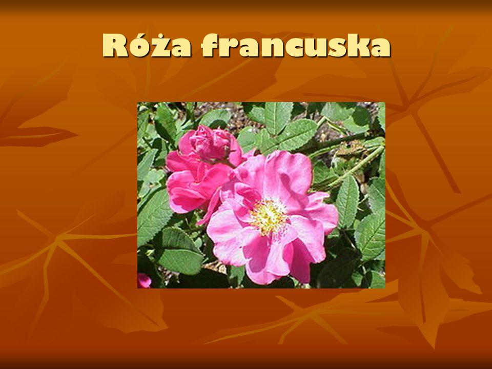 Róża francuska