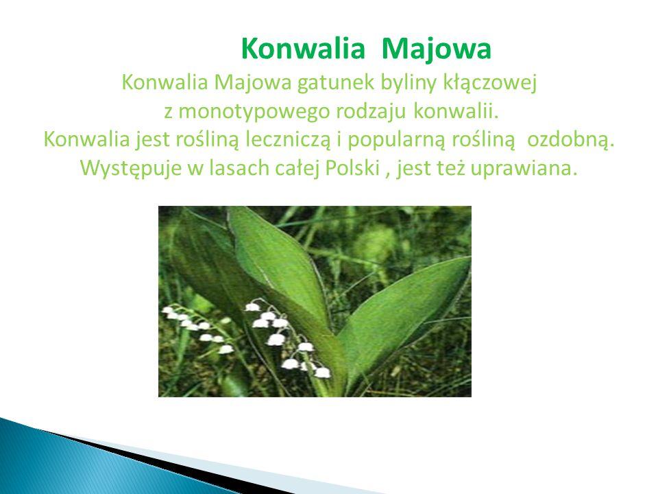Konwalia Majowa Konwalia Majowa gatunek byliny kłączowej z monotypowego rodzaju konwalii. Konwalia jest rośliną leczniczą i popularną rośliną ozdobną.