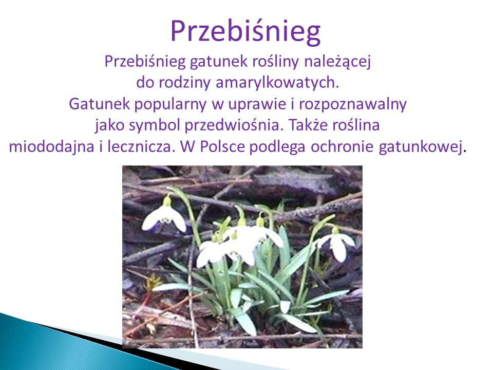 Przebiśnieg Przebiśnieg gatunek rośliny należącej do rodziny amarylkowatych. Gatunek popularny w uprawie i rozpoznawalny jako symbol przedwiośnia. Tak