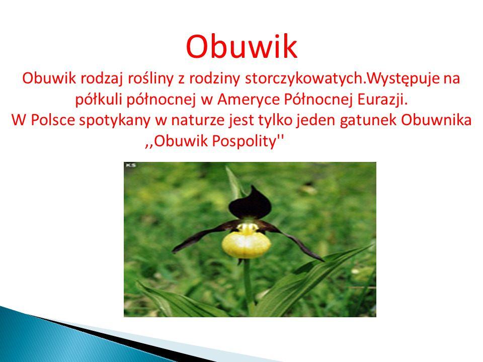 Obuwik Obuwik rodzaj rośliny z rodziny storczykowatych.Występuje na półkuli północnej w Ameryce Północnej Eurazji. W Polsce spotykany w naturze jest t