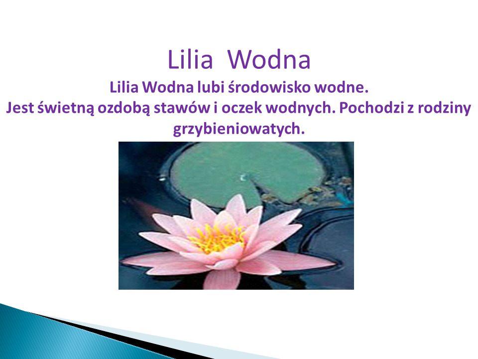 Lilia Wodna Lilia Wodna lubi środowisko wodne. Jest świetną ozdobą stawów i oczek wodnych. Pochodzi z rodziny grzybieniowatych.