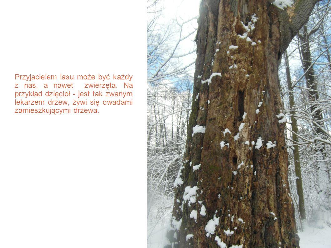 Przyjacielem lasu może być każdy z nas, a nawet zwierzęta. Na przykład dzięcioł - jest tak zwanym lekarzem drzew, żywi się owadami zamieszkującymi drz