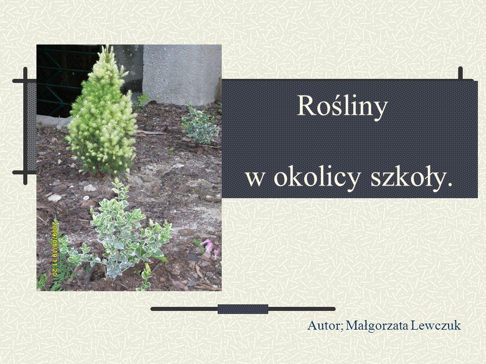 Rośliny w okolicy szkoły. Autor; Małgorzata Lewczuk