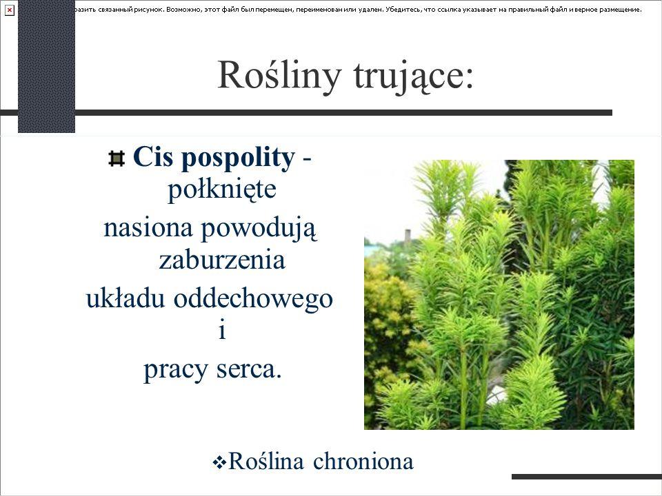 Rośliny trujące: Cis pospolity - połknięte nasiona powodują zaburzenia układu oddechowego i pracy serca.  Roślina chroniona