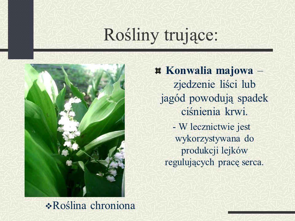 Rośliny trujące: Konwalia majowa – zjedzenie liści lub jagód powodują spadek ciśnienia krwi. - W lecznictwie jest wykorzystywana do produkcji lejków r