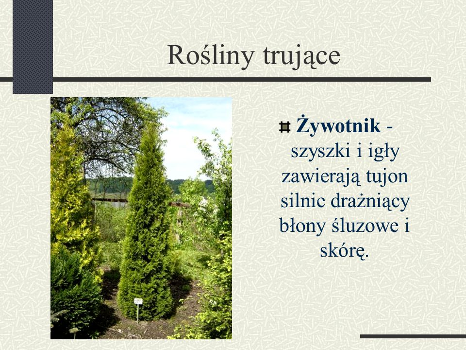 Rośliny trujące Żywotnik - szyszki i igły zawierają tujon silnie drażniący błony śluzowe i skórę.