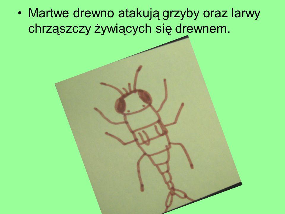 Martwe drewno atakują grzyby oraz larwy chrząszczy żywiących się drewnem.