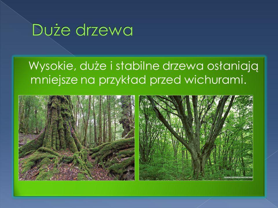 Wysokie, duże i stabilne drzewa osłaniają mniejsze na przykład przed wichurami.