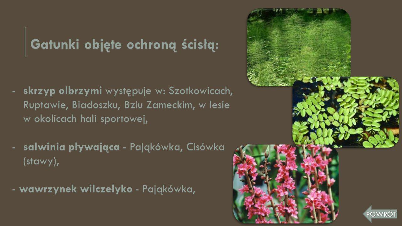Gatunki objęte ochroną ścisłą: -skrzyp olbrzymi występuje w: Szotkowicach, Ruptawie, Biadoszku, Bziu Zameckim, w lesie w okolicach hali sportowej, -sa