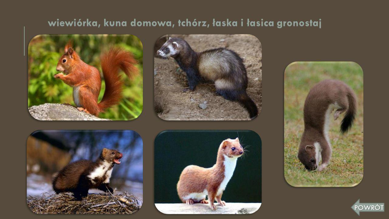 wiewiórka, kuna domowa, tchórz, łaska i łasica gronostaj POWRÓT