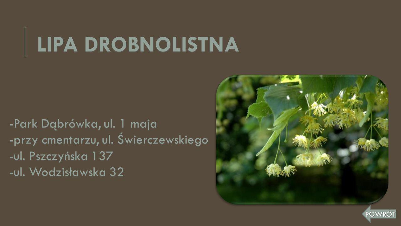 LIPA DROBNOLISTNA -Park Dąbrówka, ul. 1 maja -przy cmentarzu, ul. Świerczewskiego -ul. Pszczyńska 137 -ul. Wodzisławska 32 POWRÓT