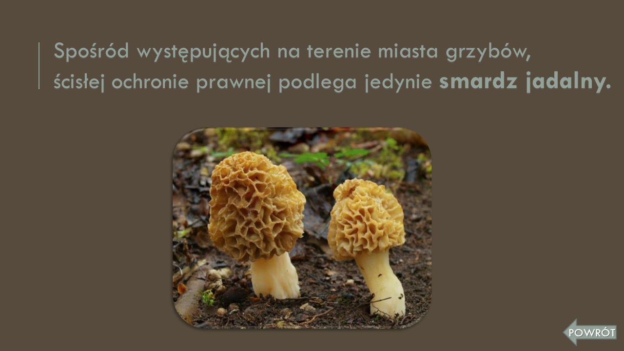 Spośród występujących na terenie miasta grzybów, ścisłej ochronie prawnej podlega jedynie smardz jadalny. POWRÓT