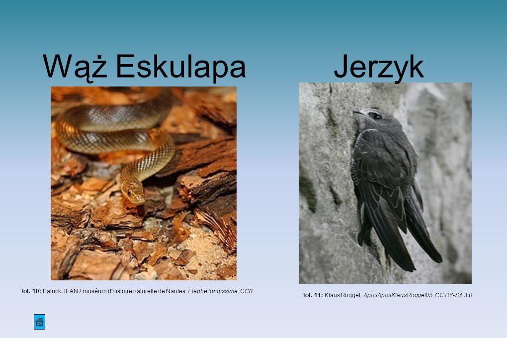 Wąż Eskulapa fot. 10: Patrick JEAN / muséum d'histoire naturelle de Nantes, Elaphe longissima, CC0 Jerzyk fot. 11: Klaus Roggel, ApusApusKlausRoggel05