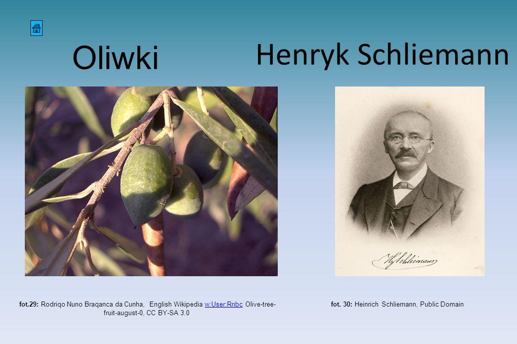 Oliwki fot.29: Rodriqo Nuno Braqanca da Cunha, English Wikipedia w:User:Rnbc Olive-tree- fruit-august-0, CC BY-SA 3.0w:User:Rnbc fot. 30: Heinrich Sch