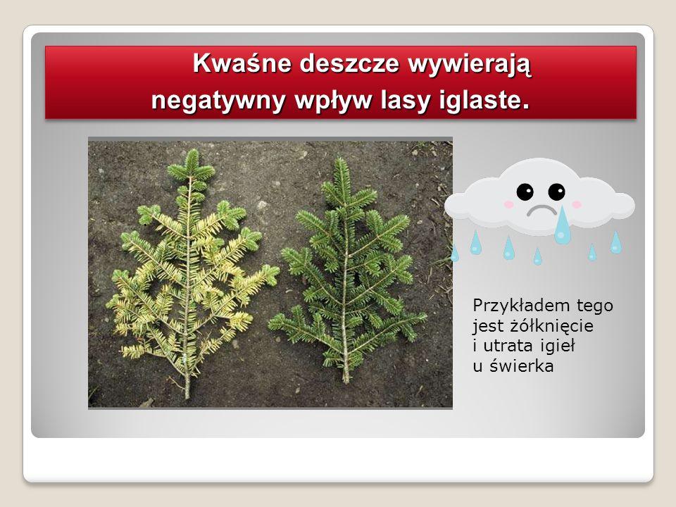 Kwaśne deszcze wywierają negatywny wpływ lasy iglaste. Kwaśne deszcze wywierają negatywny wpływ lasy iglaste.. Przykładem tego jest żółknięcie i utrat