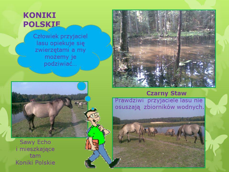 KONIKI POLSKIE Sawy Echo i mieszkające tam Koniki Polskie Czarny Staw Prawdziwi przyjaciele lasu nie osuszają zbiorników wodnych.