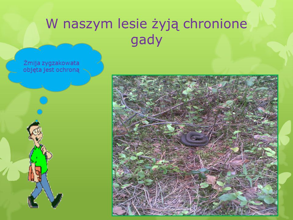W naszym lesie żyją chronione gady Żmija zygzakowata objęta jest ochroną