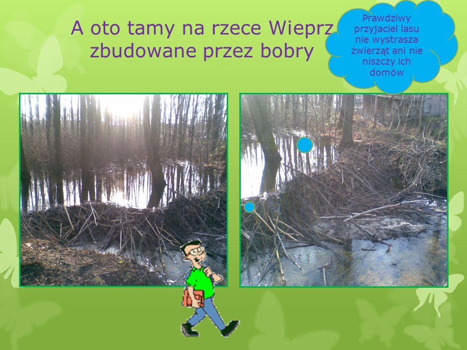 A oto tamy na rzece Wieprz zbudowane przez bobry Prawdziwy przyjaciel lasu nie wystrasza zwierząt ani nie niszczy ich domów