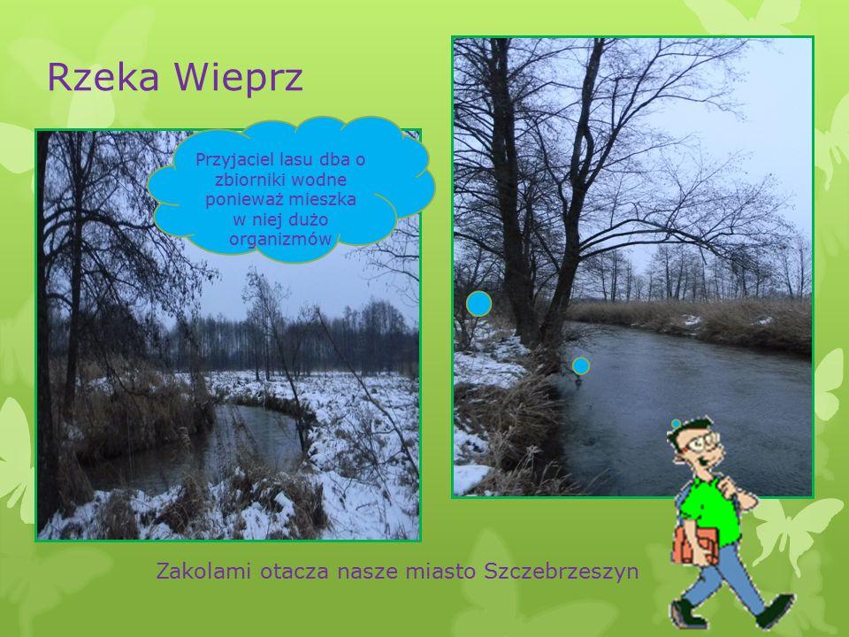 Rzeka Wieprz Zakolami otacza nasze miasto Szczebrzeszyn Przyjaciel lasu dba o zbiorniki wodne ponieważ mieszka w niej dużo organizmów