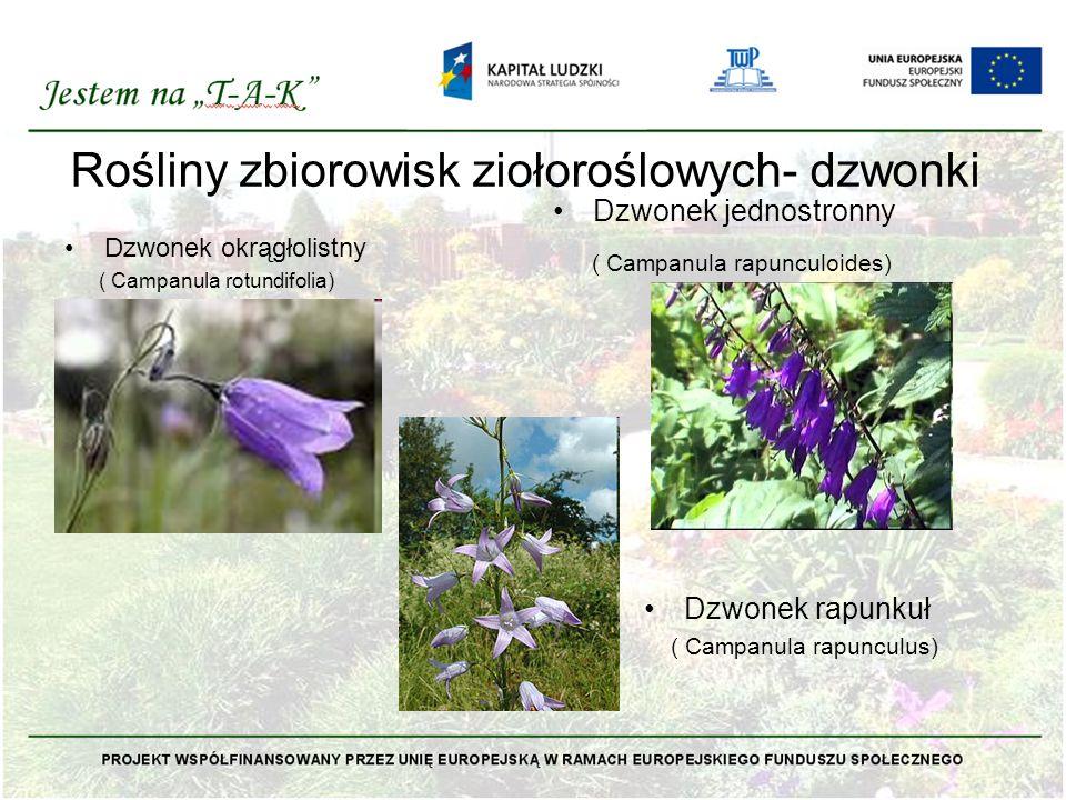 Rośliny zbiorowisk ziołoroślowych- dzwonki Dzwonek okrągłolistny ( Campanula rotundifolia) Dzwonek jednostronny ( Campanula rapunculoides) Dzwonek rap