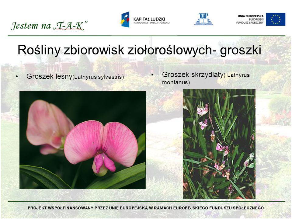 Rośliny zbiorowisk ziołoroślowych- groszki Groszek leśny (Lathyrus sylvestris) Groszek skrzydlaty ( Lathyrus montanus)