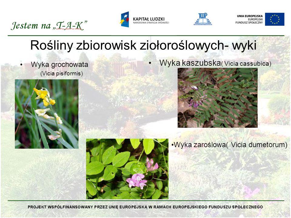 Rośliny zbiorowisk ziołoroślowych- wyki Wyka grochowata (Vicia pisiformis) Wyka kaszubska ( Vicia cassubica) Wyka zaroślowa( Vicia dumetorum)