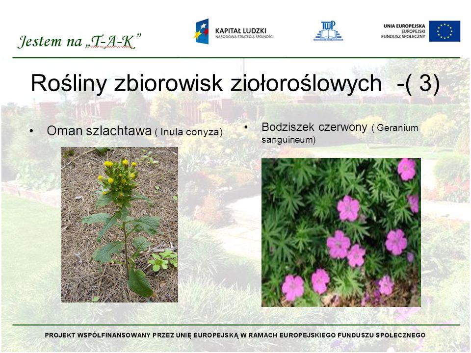 Rośliny zbiorowisk ziołoroślowych -( 3) Oman szlachtawa ( Inula conyza) Bodziszek czerwony ( Geranium sanguineum)