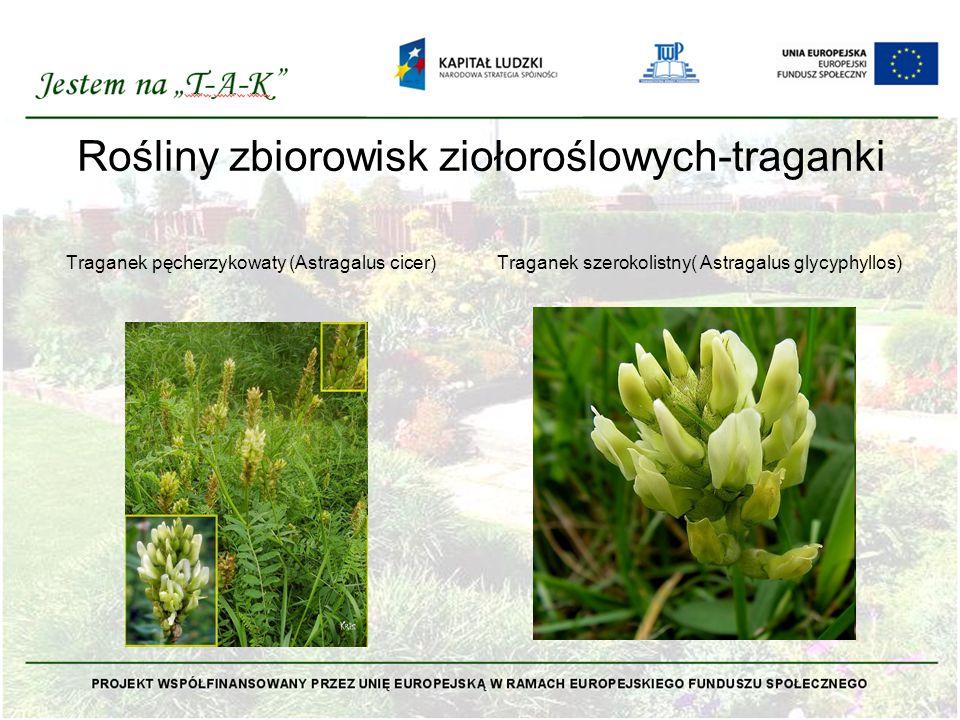 Rośliny zbiorowisk ziołoroślowych-traganki Traganek pęcherzykowaty (Astragalus cicer)Traganek szerokolistny( Astragalus glycyphyllos)