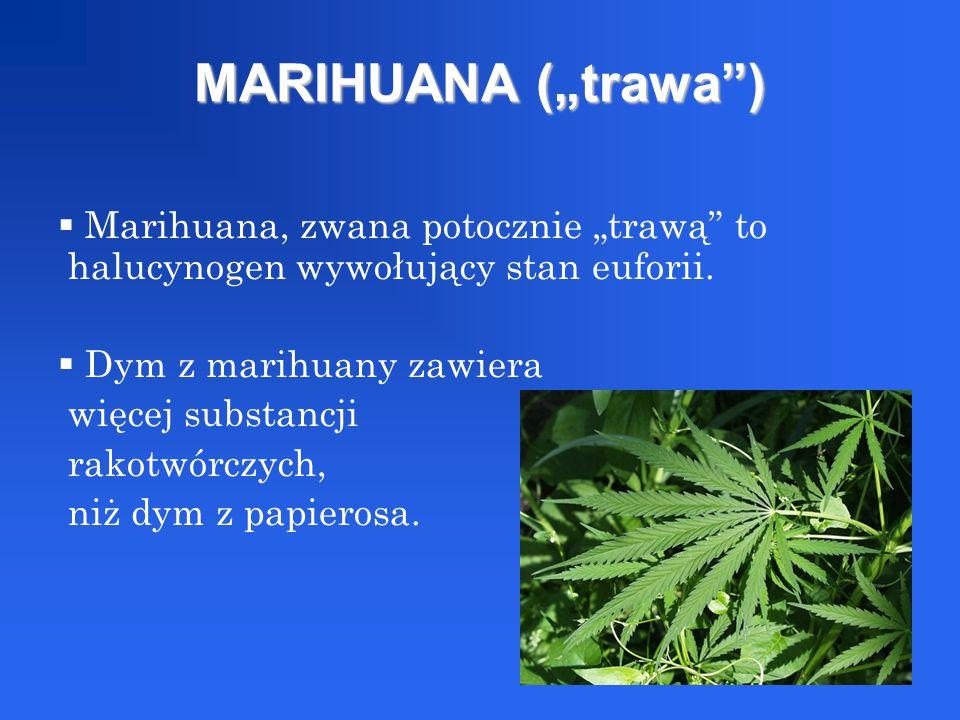 """MARIHUANA (""""trawa"""")  Marihuana, zwana potocznie """"trawą"""" to halucynogen wywołujący stan euforii.  Dym z marihuany zawiera więcej substancji rakotwórc"""