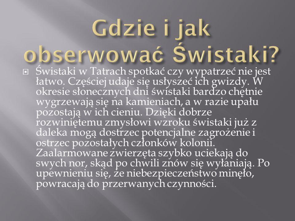  Świstaki w Tatrach spotkać czy wypatrzeć nie jest łatwo. Częściej udaje się usłyszeć ich gwizdy. W okresie słonecznych dni świstaki bardzo chętnie w