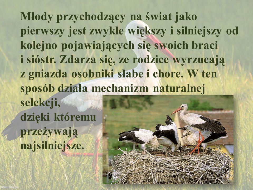 Gniazda bociana białego są siedliskami wielu małych stawonogów, zwłaszcza po powrocie ptaków do gniazda.