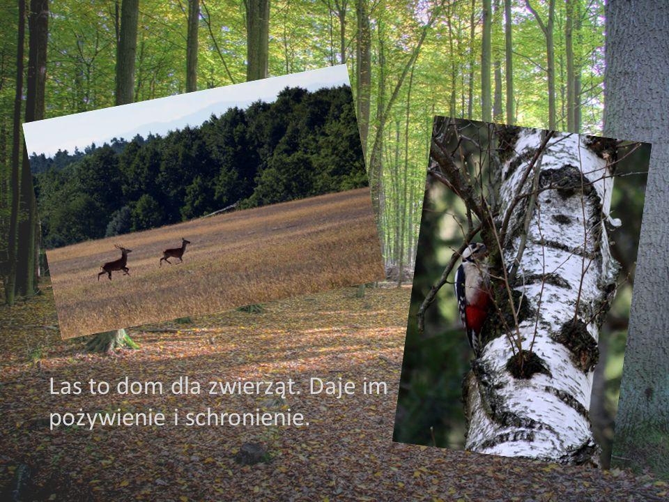 Las to dom dla zwierząt. Daje im pożywienie i schronienie.