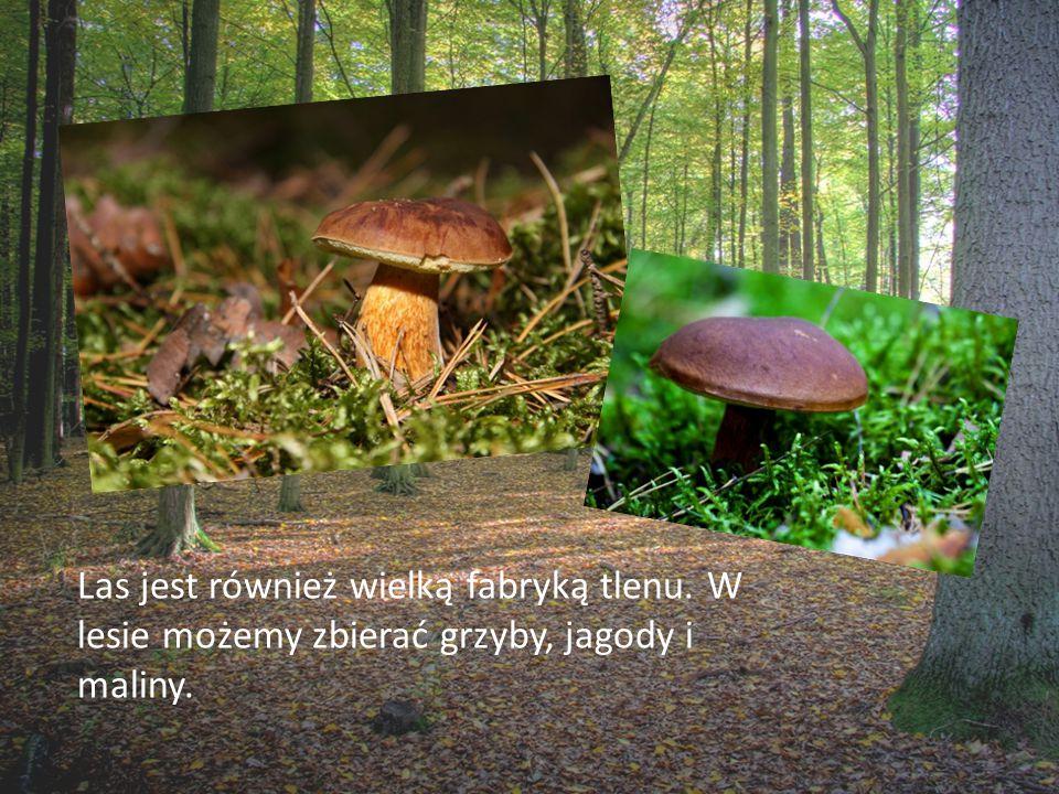 Las jest również wielką fabryką tlenu. W lesie możemy zbierać grzyby, jagody i maliny.