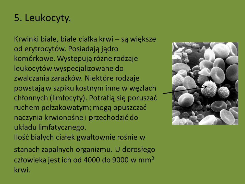5. Leukocyty. Krwinki białe, białe ciałka krwi – są większe od erytrocytów. Posiadają jądro komórkowe. Występują różne rodzaje leukocytów wyspecjalizo