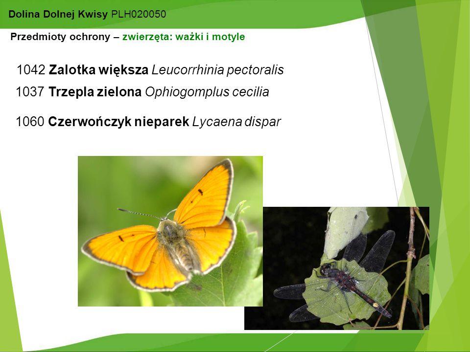 14 Dolina Dolnej Kwisy PLH020050 1037 Trzepla zielona Ophiogomplus cecilia 1042 Zalotka większa Leucorrhinia pectoralis 1060 Czerwończyk nieparek Lyca