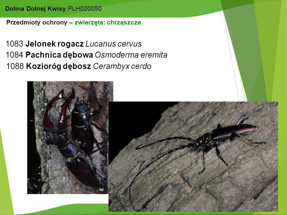 15 Dolina Dolnej Kwisy PLH020050 1083 Jelonek rogacz Lucanus cervus 1084 Pachnica dębowa Osmoderma eremita 1088 Kozioróg dębosz Cerambyx cerdo Przedmi