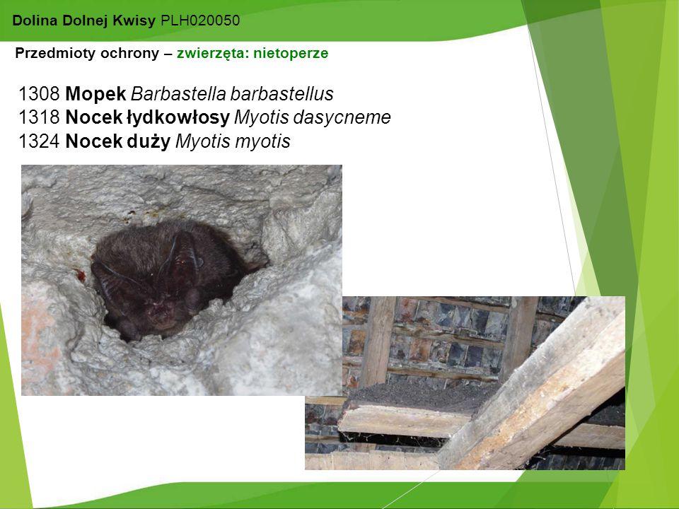 17 Dolina Dolnej Kwisy PLH020050 1308 Mopek Barbastella barbastellus 1324 Nocek duży Myotis myotis 1318 Nocek łydkowłosy Myotis dasycneme Przedmioty o