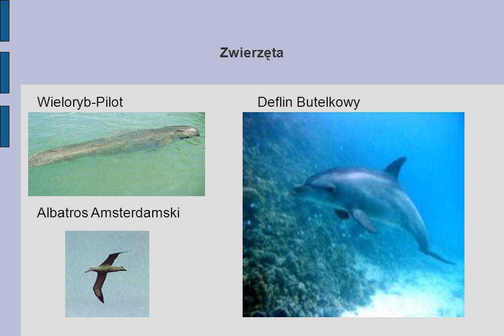 Zwierzęta Wieloryb-Pilot Albatros Amsterdamski Deflin Butelkowy