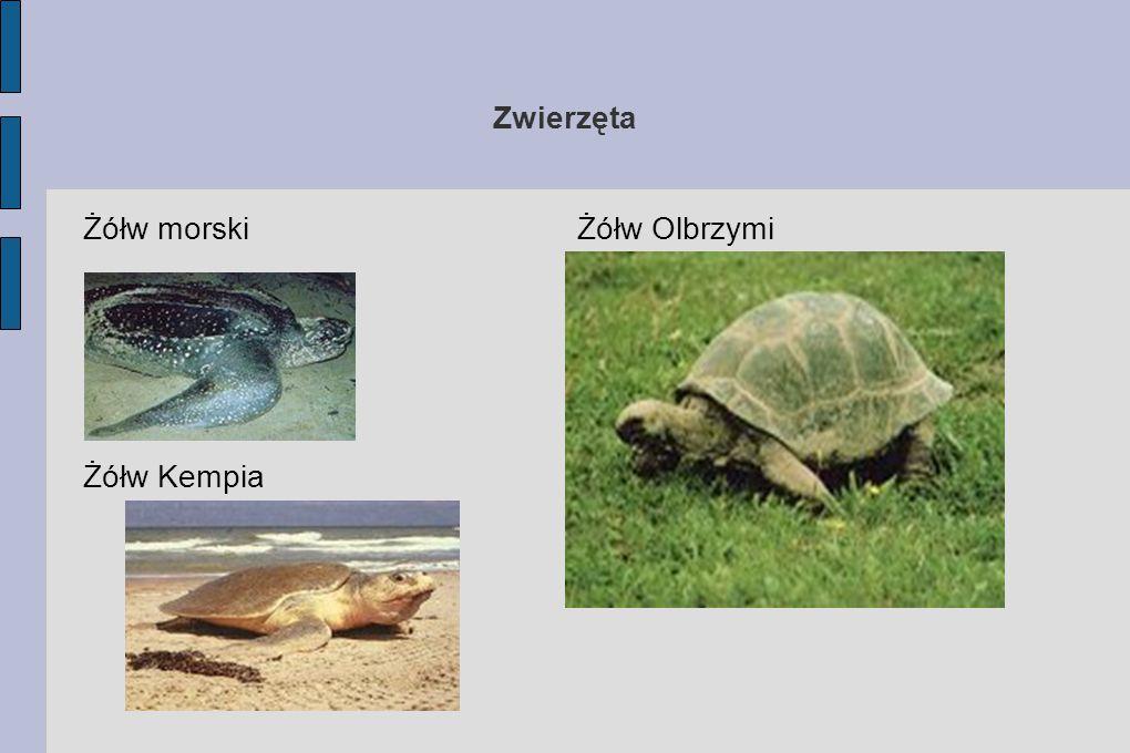 Zwierzęta Żółw morski Żółw Kempia Żółw Olbrzymi