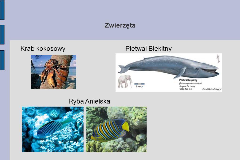 Zwierzęta Krab kokosowy Ryba Anielska Płetwal Błękitny