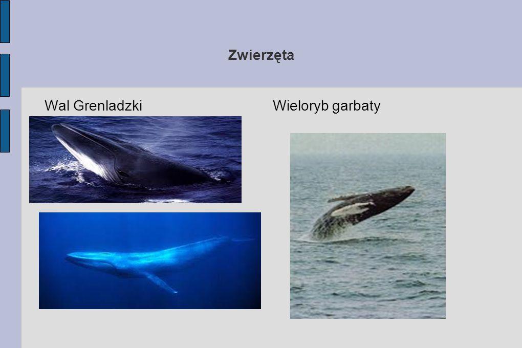 Zwierzęta Wal GrenladzkiWieloryb garbaty