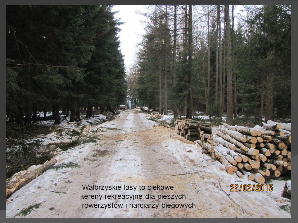 Lasy okolic Wałbrzycha to obszar pozyskiwania drewna dla wielu działów gospodarki.