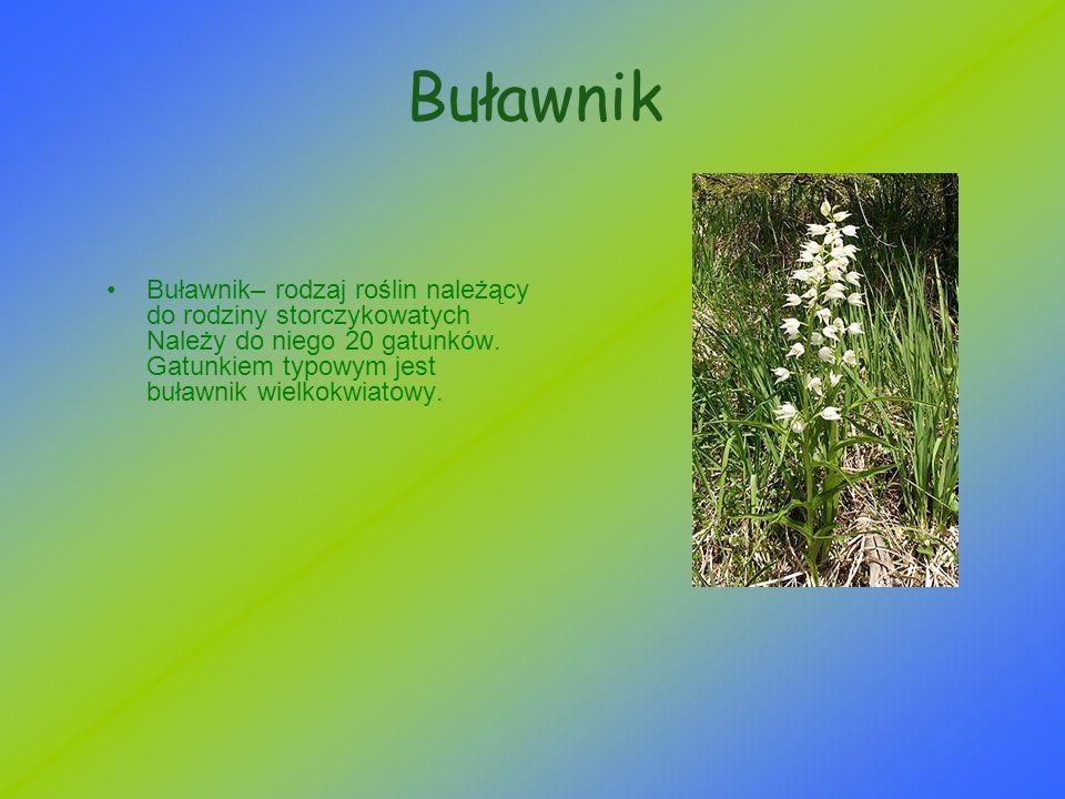 Buławnik Buławnik– rodzaj roślin należący do rodziny storczykowatych Należy do niego 20 gatunków. Gatunkiem typowym jest buławnik wielkokwiatowy.