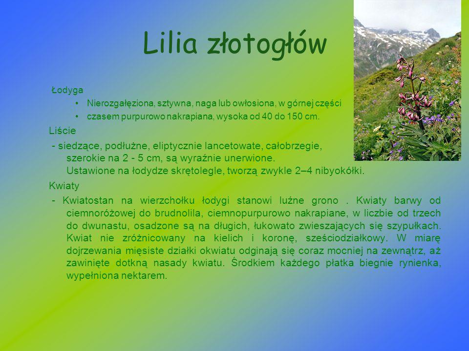 Lilia złotogłów Łodyga Nierozgałęziona, sztywna, naga lub owłosiona, w górnej części czasem purpurowo nakrapiana, wysoka od 40 do 150 cm. Liście - sie