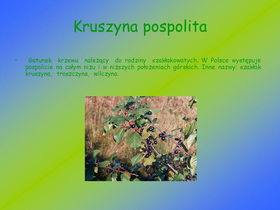 Kruszyna pospolita Gatunek krzewu należący do rodziny szakłakowatych. W Polsce występuje pospolicie na całym niżu i w niższych położeniach górskich. I