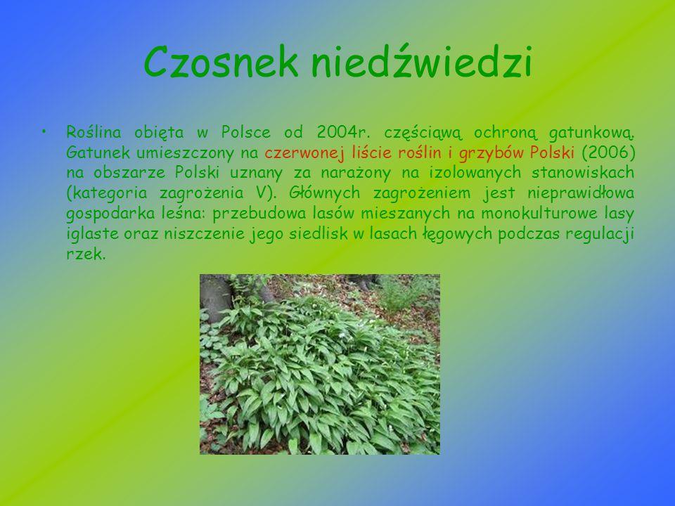Czosnek niedźwiedzi Roślina obięta w Polsce od 2004r. częściąwą ochroną gatunkową. Gatunek umieszczony na czerwonej liście roślin i grzybów Polski (20